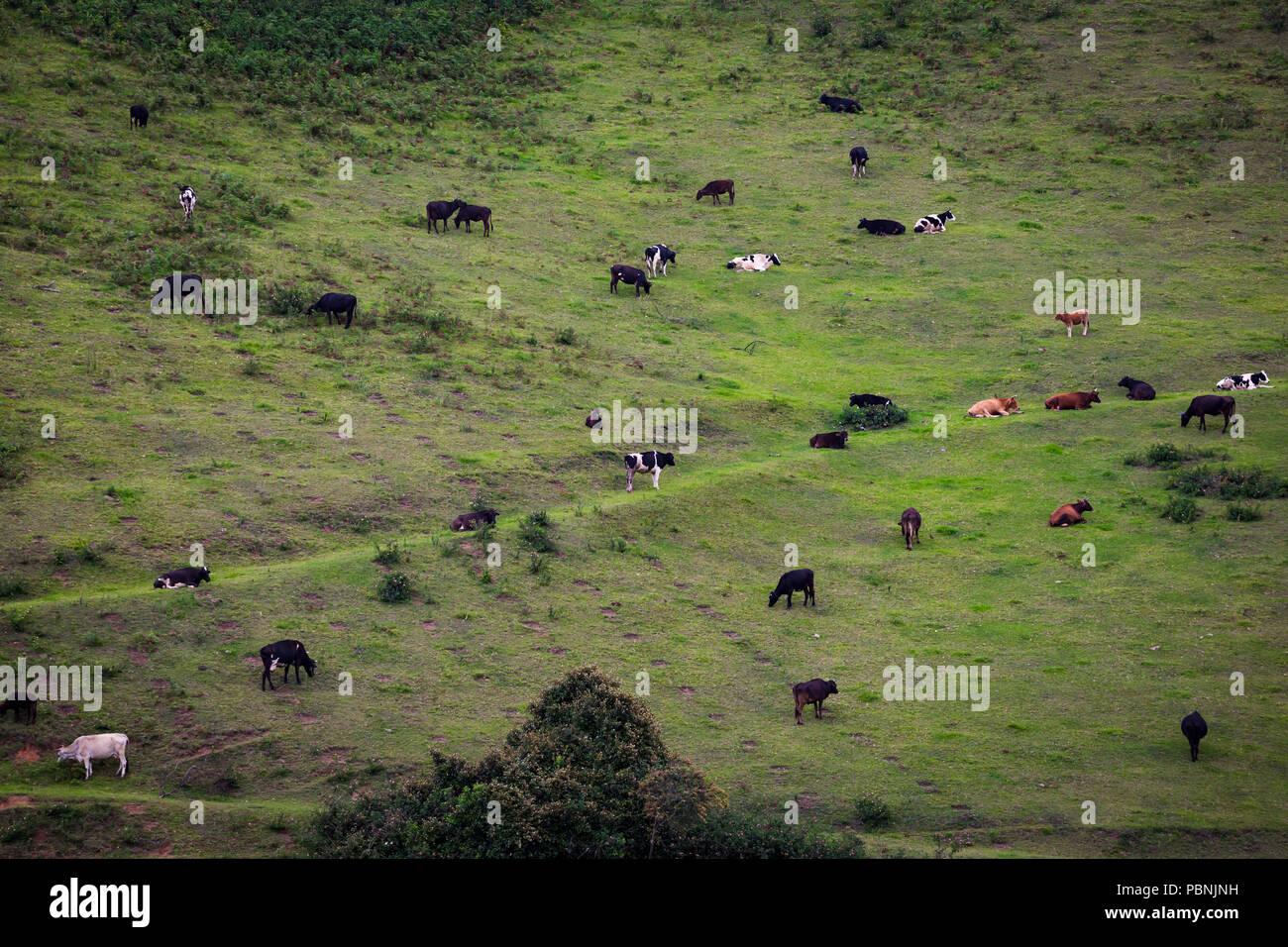 scenic grassland - cow graze - dream landscape - scenic landscape - beautiful - landscape - cattle graze on the open meadows - Stock Image