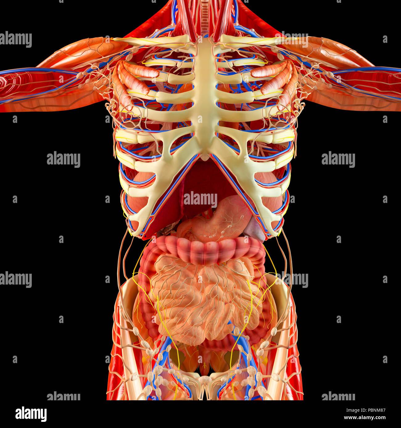 Human Body Muscular System Internal Organs Digestive System