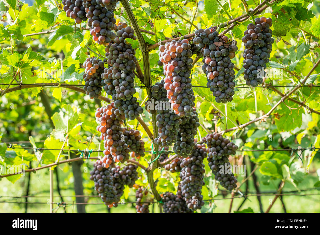 Pinot Grigio grape variety. Pinot Grigio is a white wine grape variety that is made from grapes with grayish, white red, and or purple skins. South ty - Stock Image