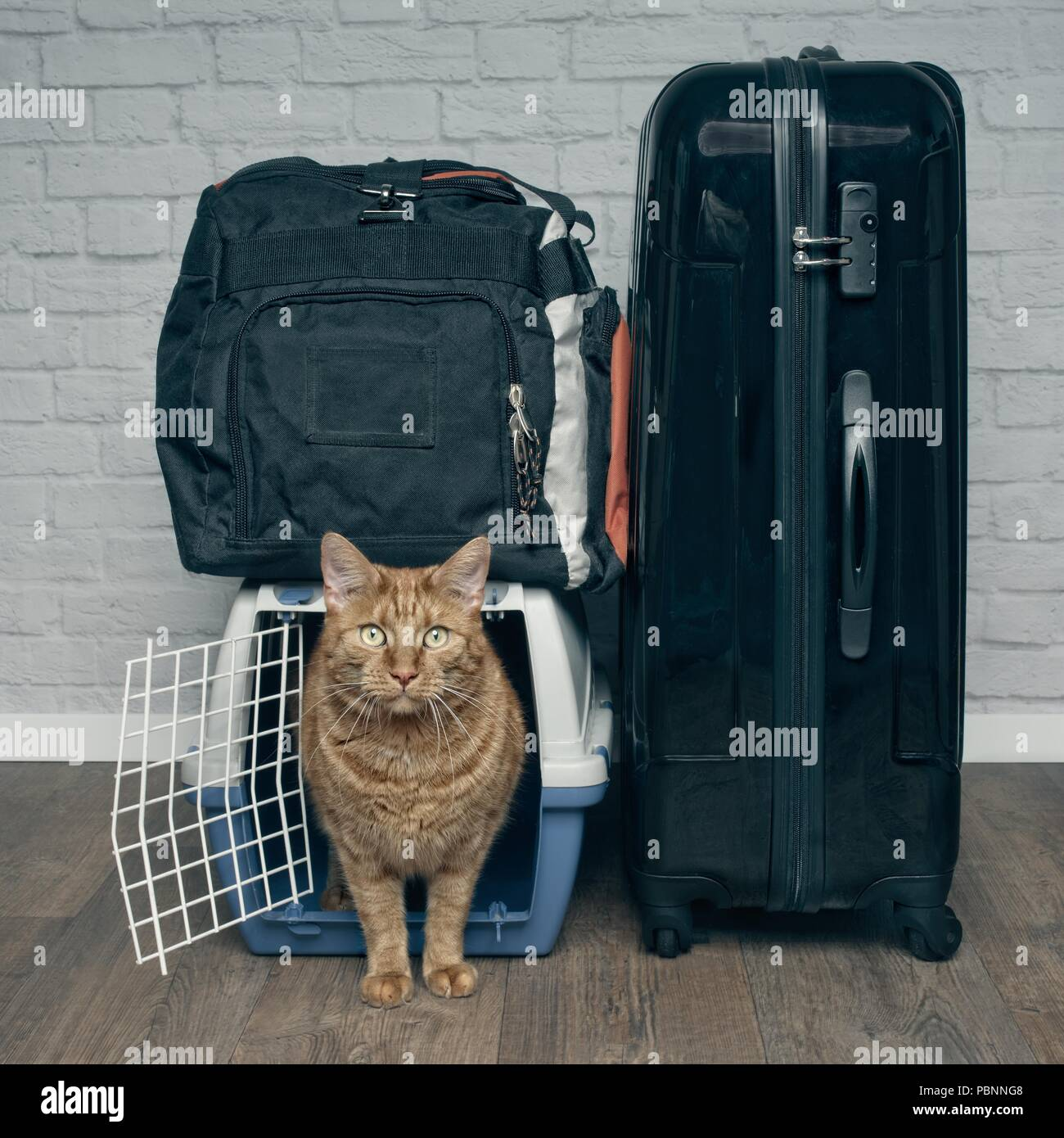 Traveling with a cat - ginger cat looking anxiously from a pet carrier next to a suitcase. - Stock Image