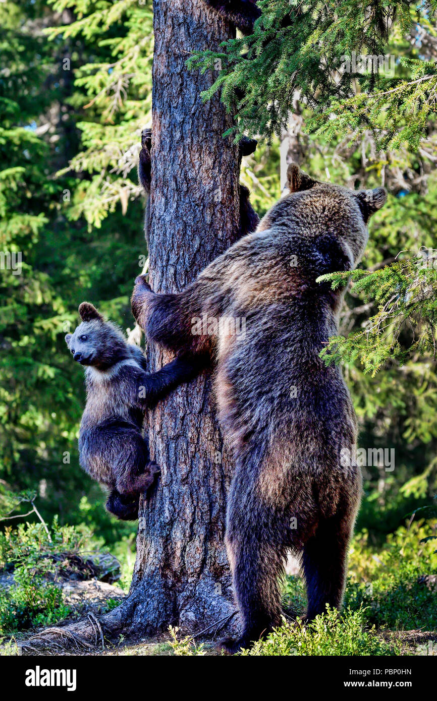 Mother brown bear and it's cubs are in alert state because of the BIG male bear is somewhere around. - Stock Image