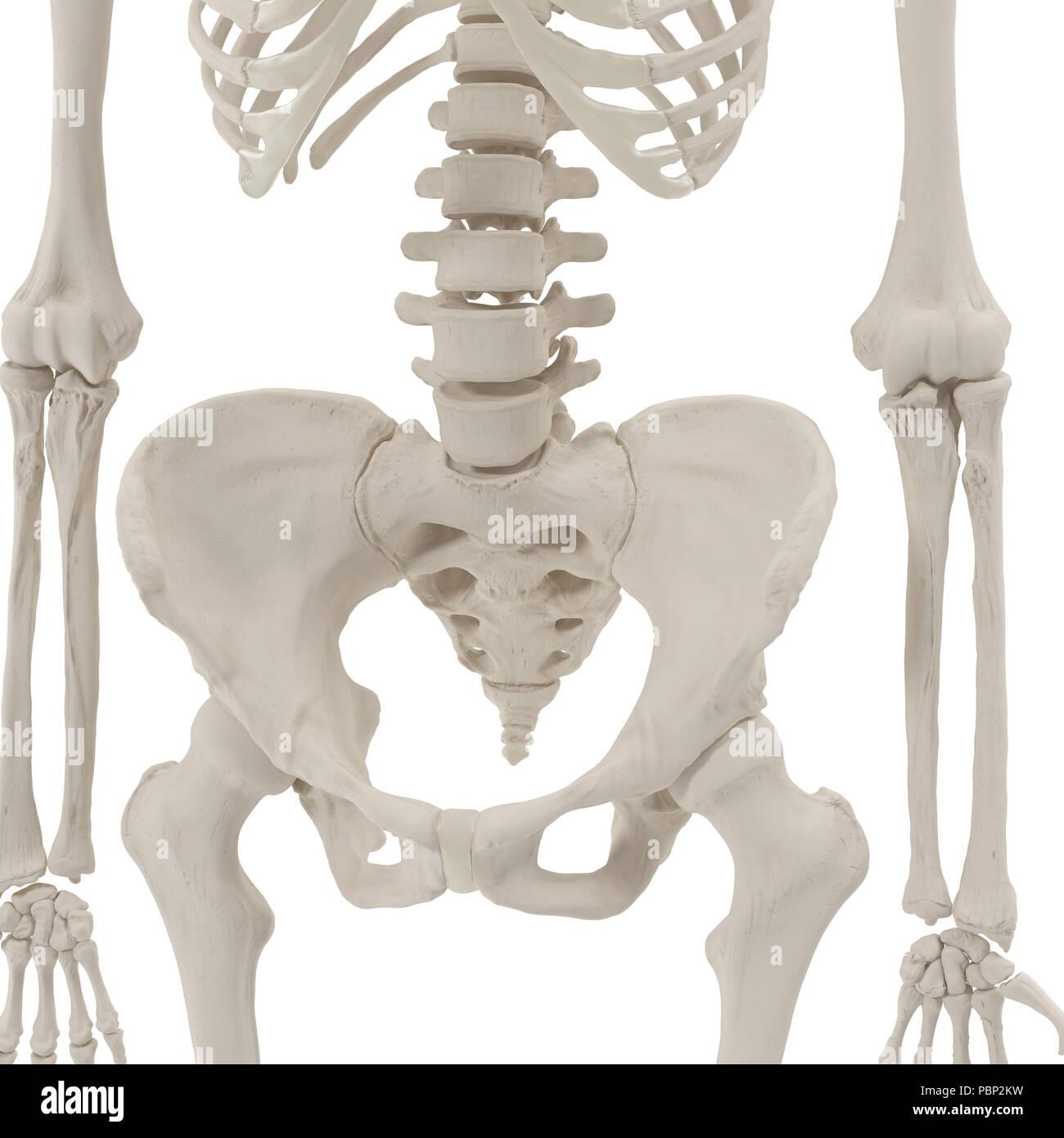 Female Pelvis Skeleton on white. 3D illustration - Stock Image