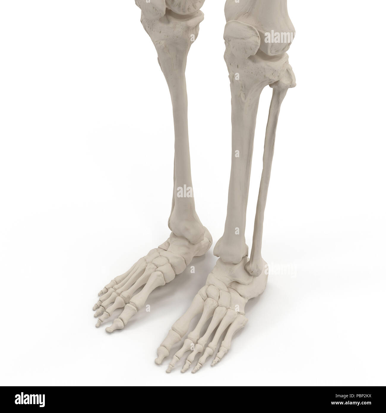 Human Legs Skeleton Bones On White 3d Illustration Stock Photo