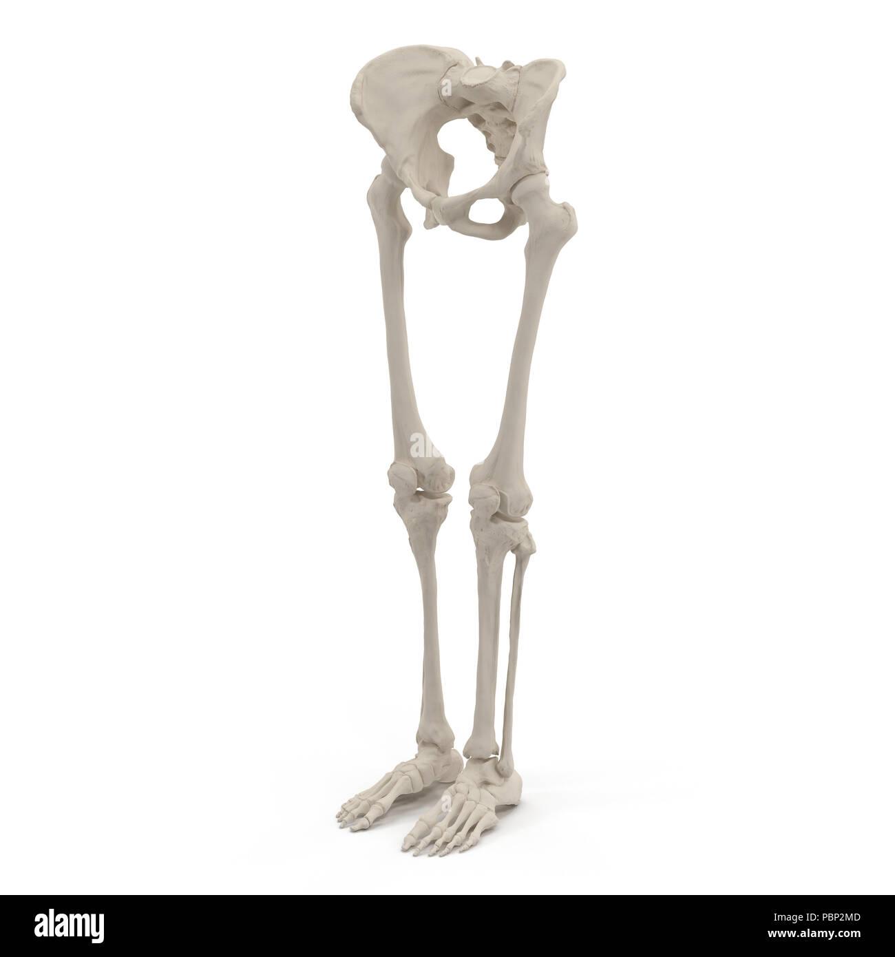 Skeleton Foot Model Stock Photos & Skeleton Foot Model Stock Images