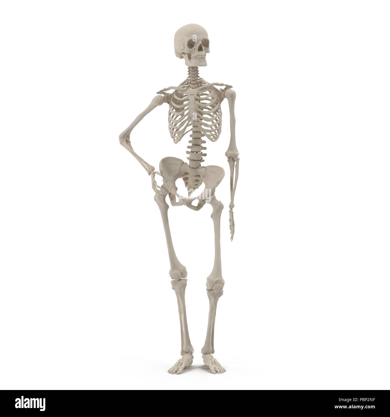 Human Female Skeleton Standing Pose On White Front View 3d