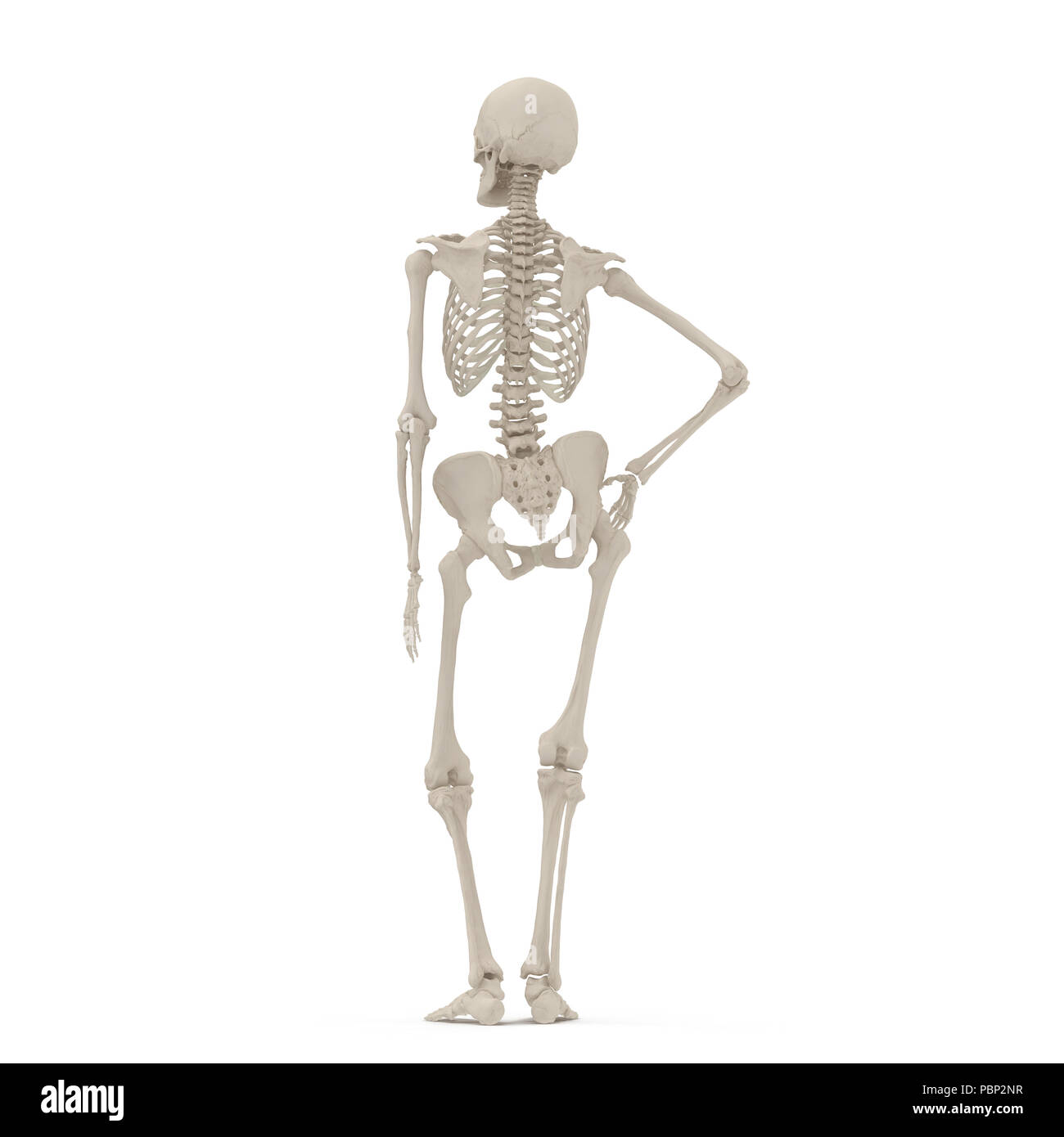 Human Female Skeleton Standing Pose On White 3d Illustration Stock