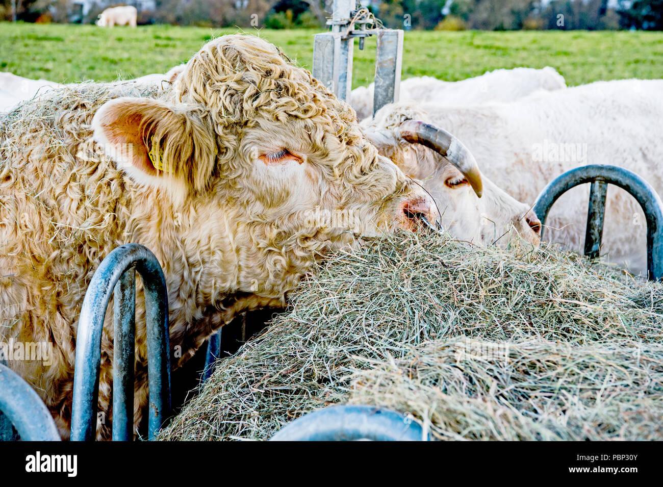 Cows outdoor, munching hay: Kuehe auf der Weide, Heu fressend - Stock Image