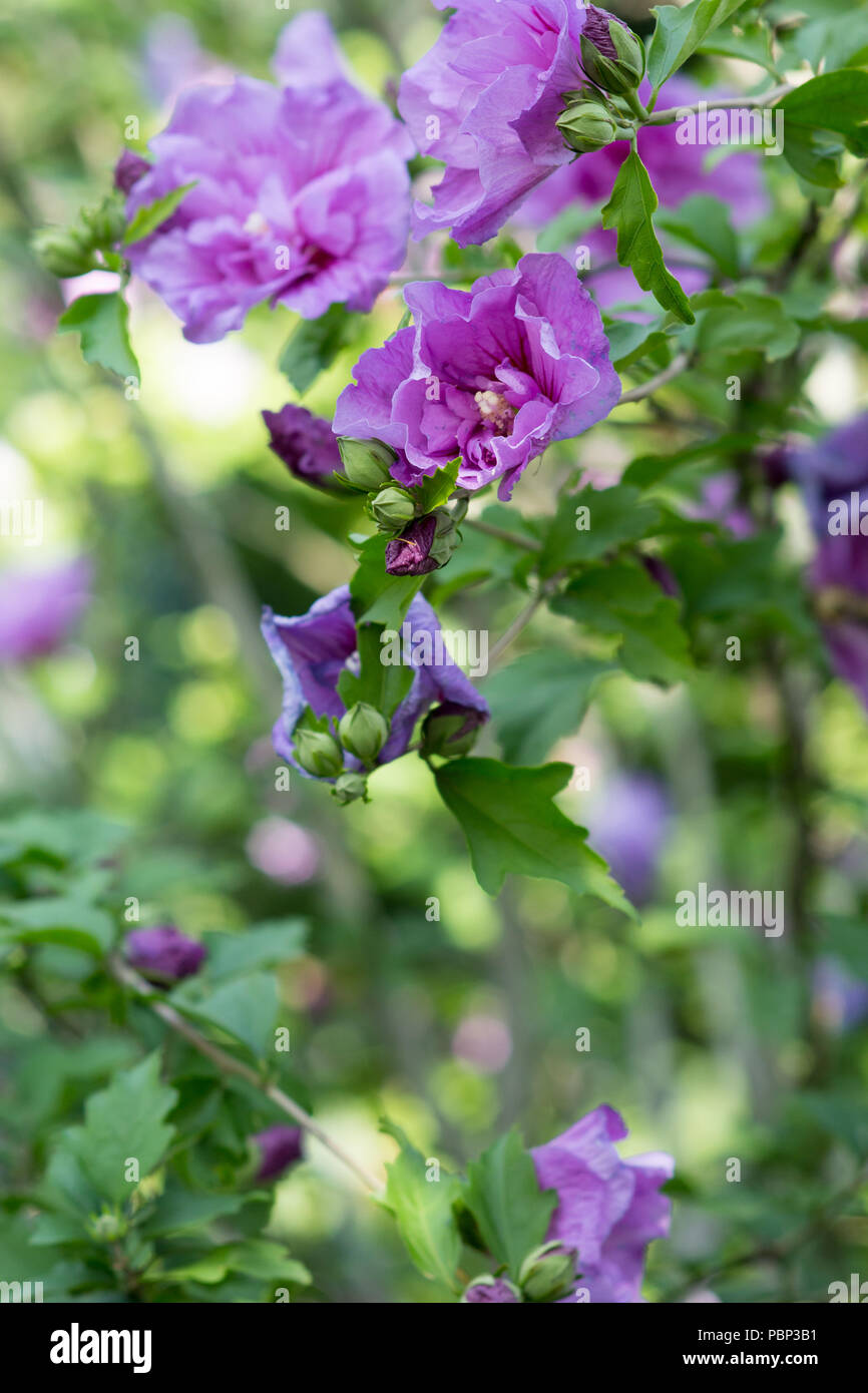 A Hibiscus Bush Blooming With Purple Flowers In The Garden