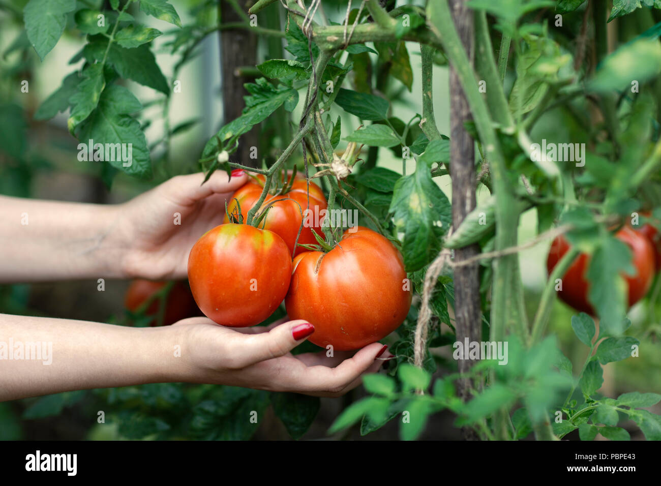 Woman's hands picking red tomatoes (Solanum lycopersicum) in greenhouse. Kaluga Region, Central Russia. - Stock Image