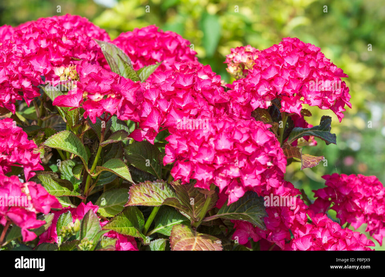 Flowers from a Hydrangea macrophylla 'Selma' (Dutch Ladies Series) Shrub in Summer in West Sussex, England, UK. - Stock Image