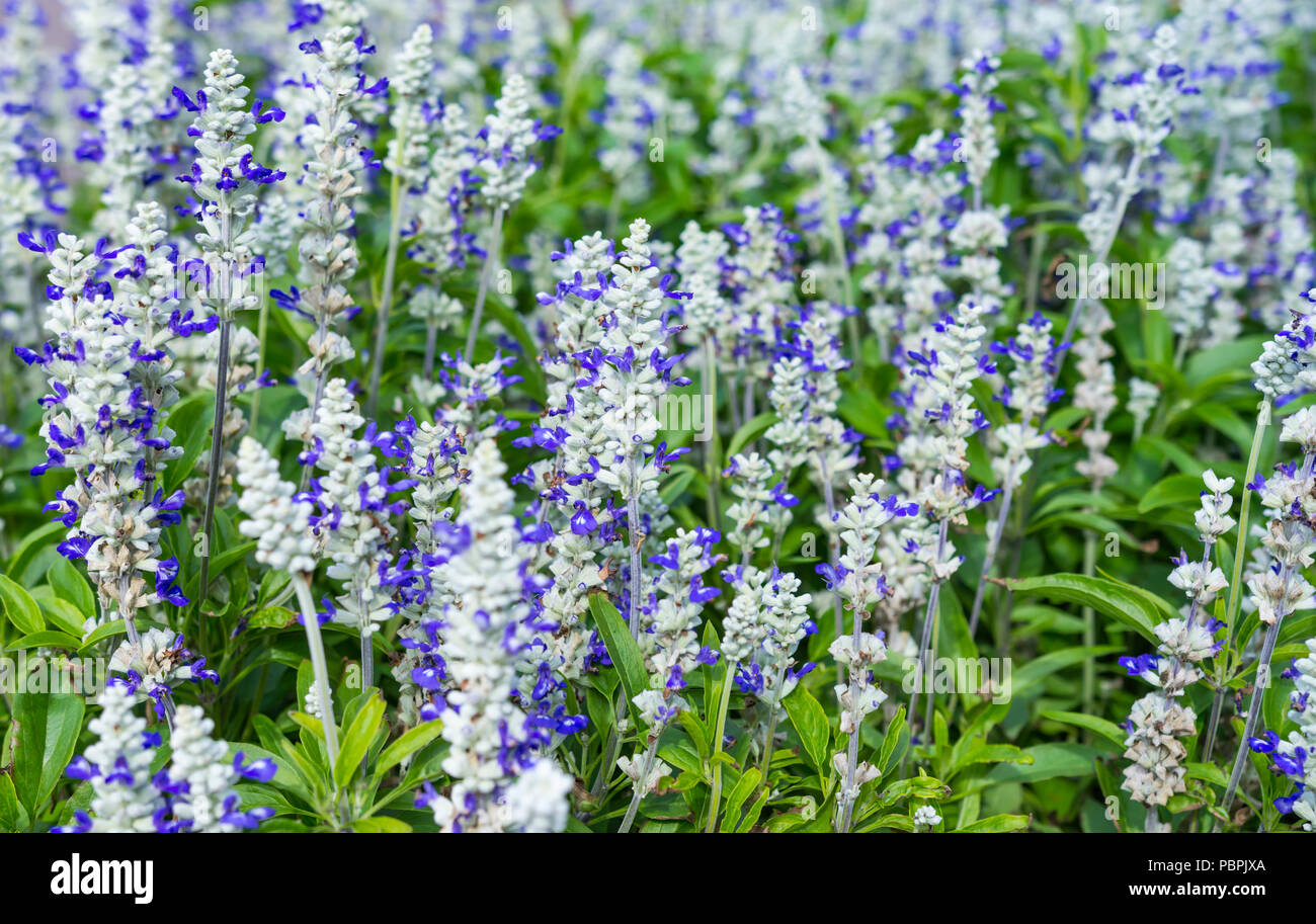 Mealycup Sage, AKA Mealy Sage (Salvia farinacea 'Strata'), a Summer bedding perennial plant, in a flower bed in Summer, in West Sussex, England, UK. - Stock Image