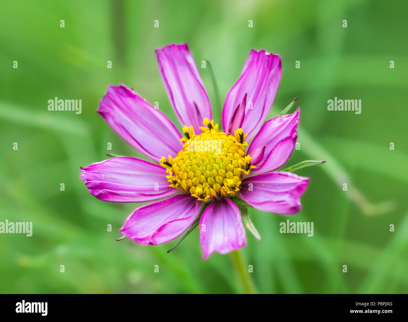 Cosmos bipinnatus cosmea, also known as Mexican Aster or Garden Cosmos, in Summer in West Sussex, England, UK. Pink Cosmos bipinnatus. - Stock Image