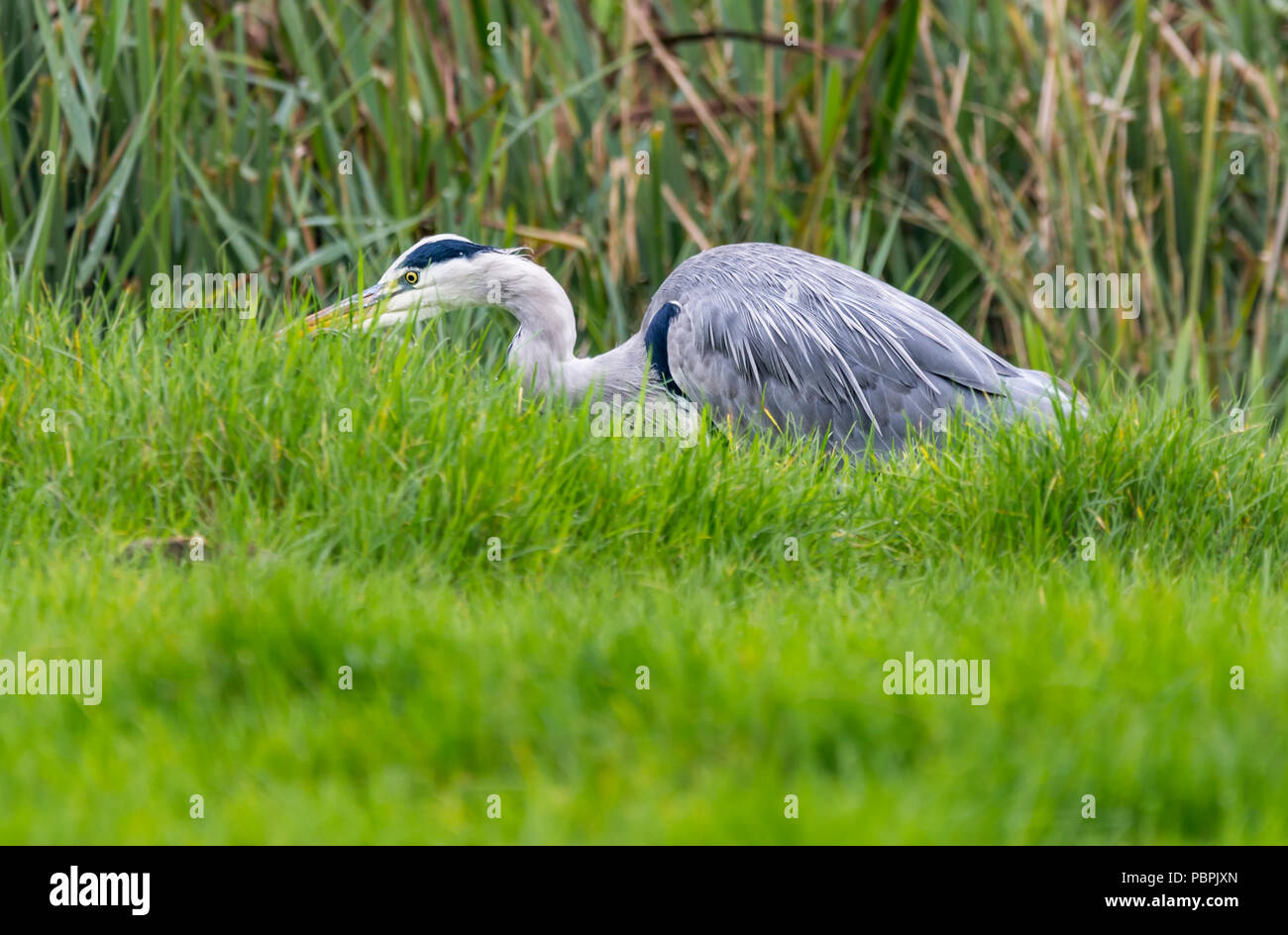 Ardea cinerea (Grey Heron), looking for food in a field in Autumn, in West Sussex, England, UK. - Stock Image