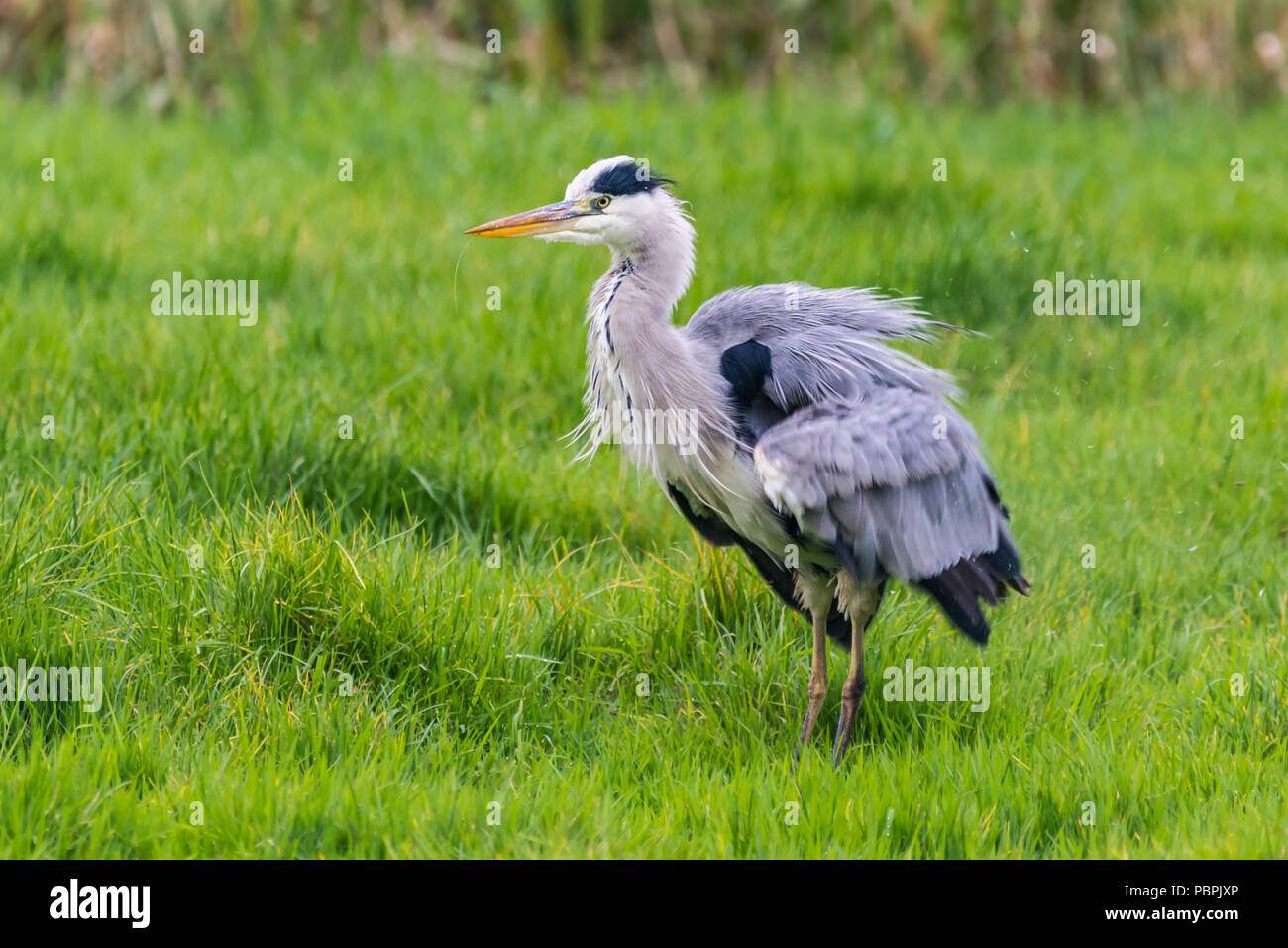 Grey Heron (Ardea cinerea) fluffing its feathers in a field in Autumn, in West Sussex, England, UK. - Stock Image