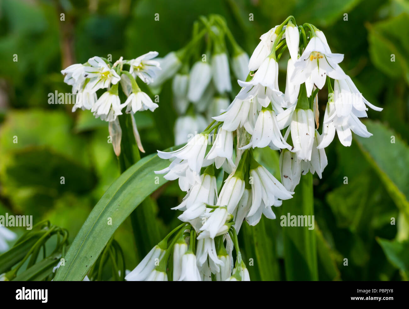 Allium triquetrum (Three-cornered Garlic) plant with small white flowers in late Spring in West Sussex, England, UK. - Stock Image