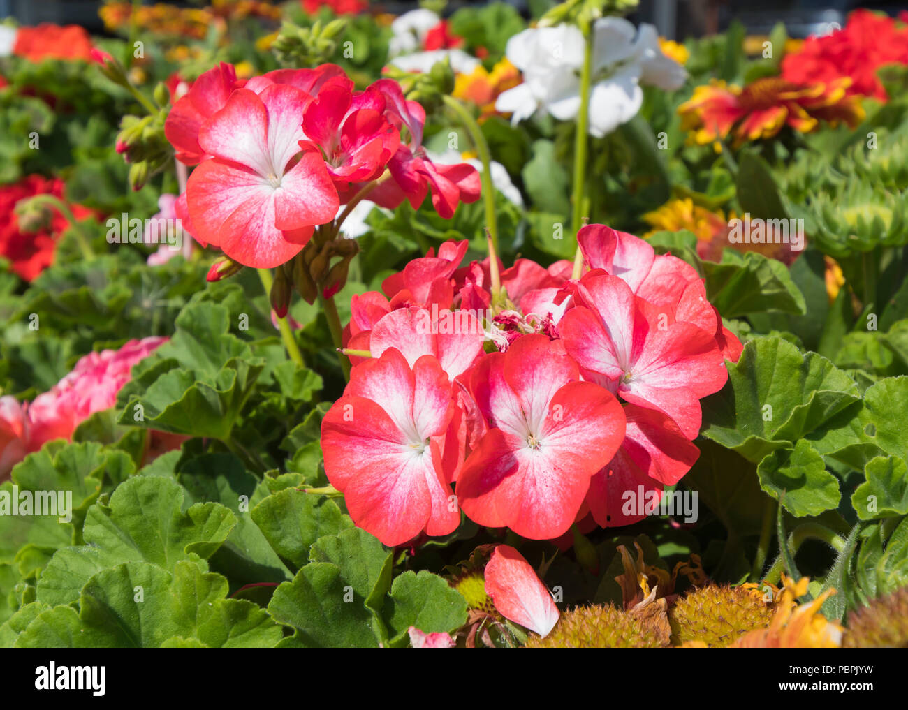 Hydrangea macrophylla. Red Hydrangeas flowers in Summer (July) flowering in West Sussex, England, UK. - Stock Image