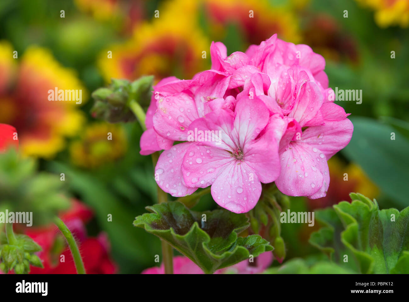 Hydrangea macrophylla. Pink Hydrangeas flowers in Summer (July) flowering in West Sussex, England, UK. - Stock Image