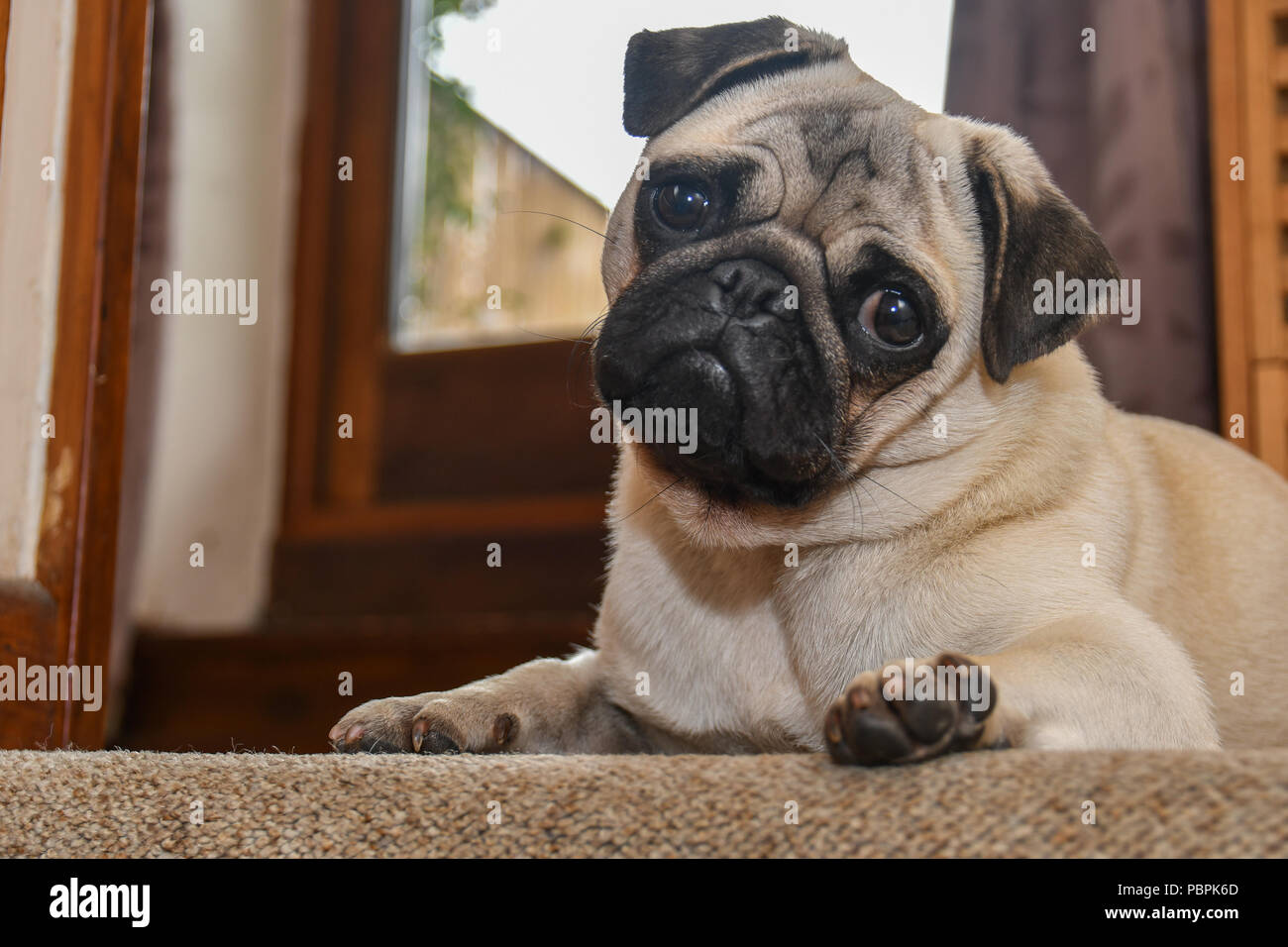 Pug with his head to one side looking inquisitively - Stock Image