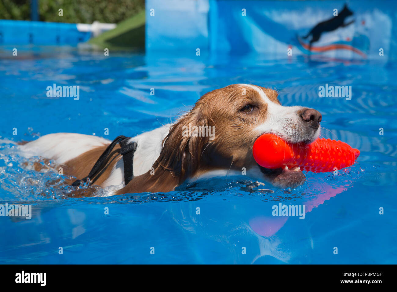Calgary, Canada. 28th July, 2018.  Dog retrieves a toy during a dog jumping event. Canine watersports are part of Pet-a-Palooza, an outdoor pet festival. Rosanne Tackaberry/Alamy Live News - Stock Image
