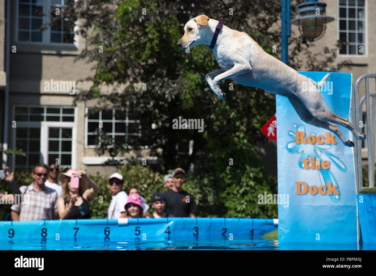Calgary, Canada. 28th July, 2018.  Dog leaps into a pool during a jumping event. Canine watersports are part of Pet-a-Palooza, an outdoor pet festival. Rosanne Tackaberry/Alamy Live News - Stock Image