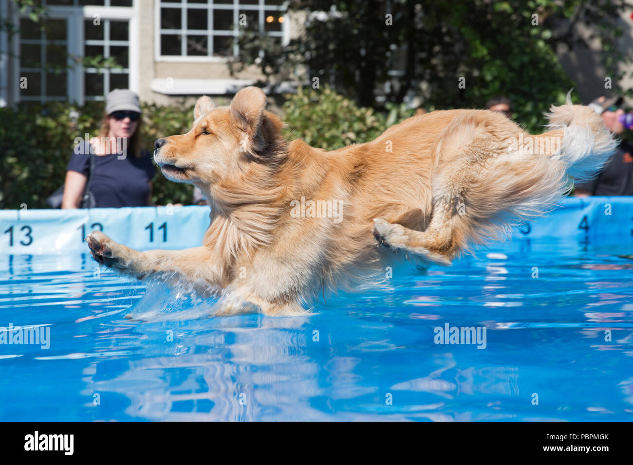 Calgary, Canada. 28th July, 2018.  Dog leaps into pool during a jumping event. Canine watersports are part of Pet-a-Palooza, an outdoor pet festival. Rosanne Tackaberry/Alamy Live News - Stock Image