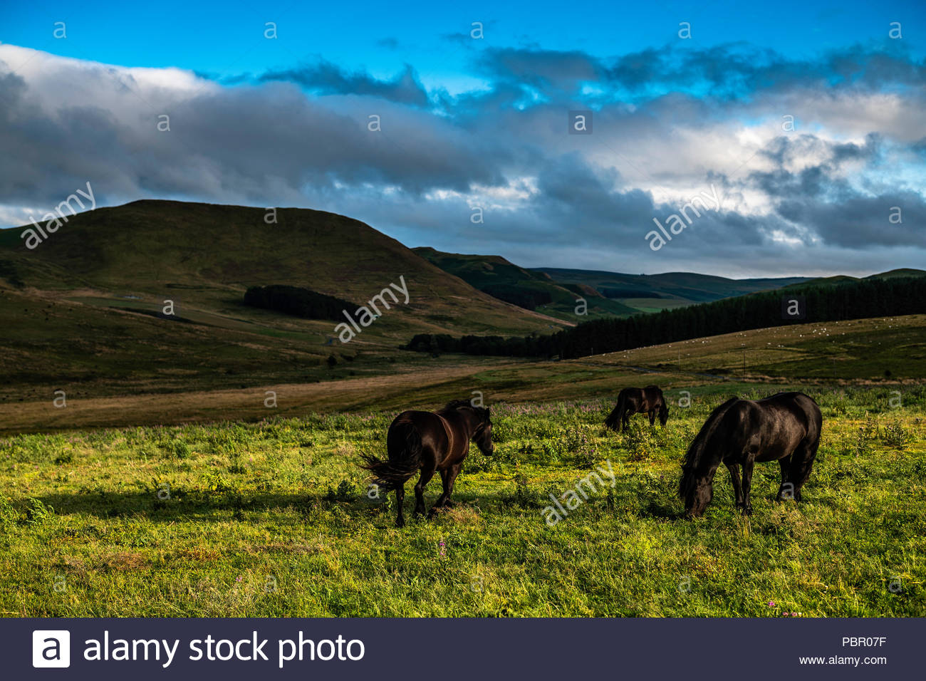 Camptown, Jedburgh, Scottish Borders, UK. 29th July 2018. Fell ponies graze at Pennymuir, a former Roman Camp on Dere Street in the Cheviot hills. Rain swept across the Borders over the weekend but temperatures remianed mild. Credit: Chris Strickland / Alamy Live News - Stock Image