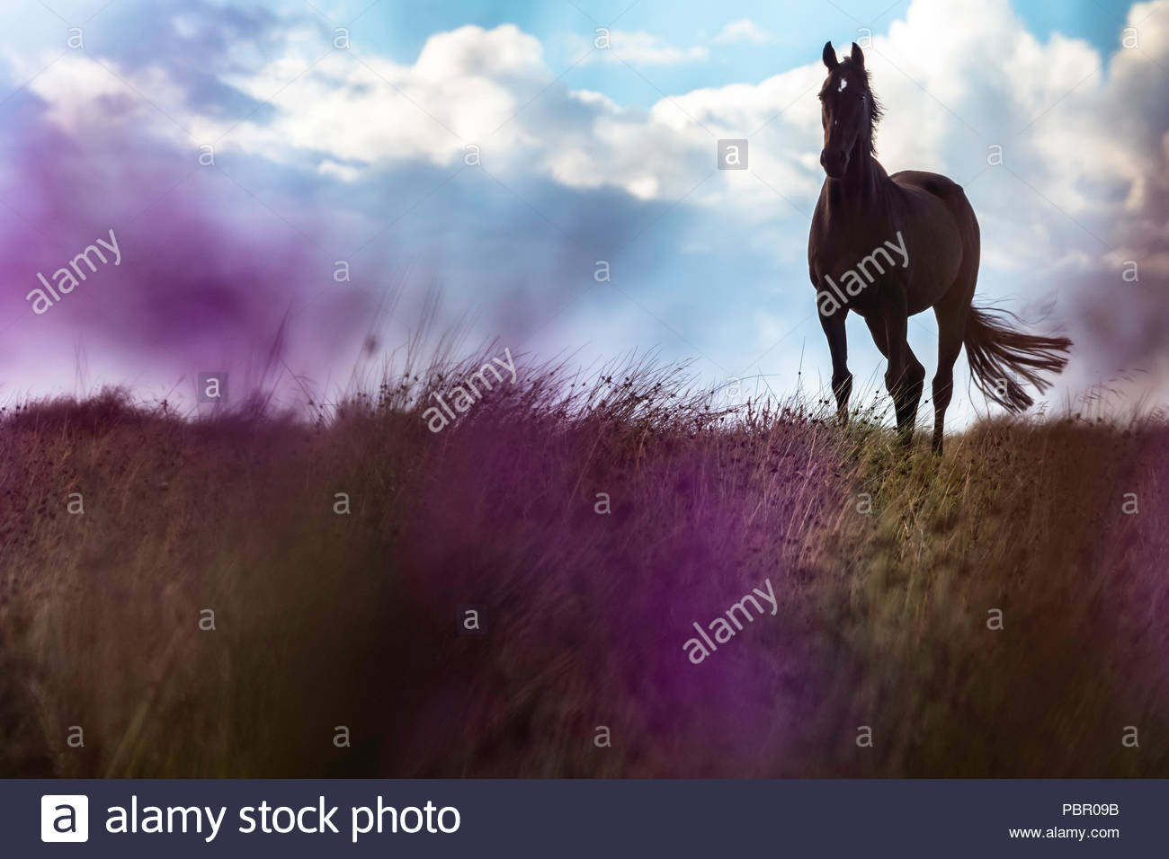 Camptown, Jedburgh, Scottish Borders, UK. 29th July 2018. A racehorse at national hunt trainers Harriet Graham's yard grazes on Riccalton Farm near the Anglo Scottish Border. Rain swept across the Borders over the weekend but temperatures remianed mild. Credit: Chris Strickland / Alamy Live News - Stock Image