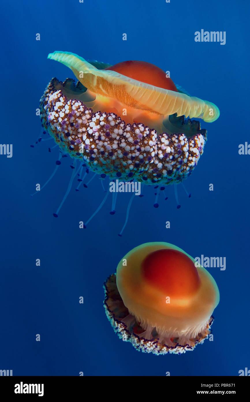 Fried egg jellyfish or Mediterranean jellyfish, Cotylorhiza tuberculata. It's the most common jellyfish of their entire order in the Mediterranean Sea - Stock Image