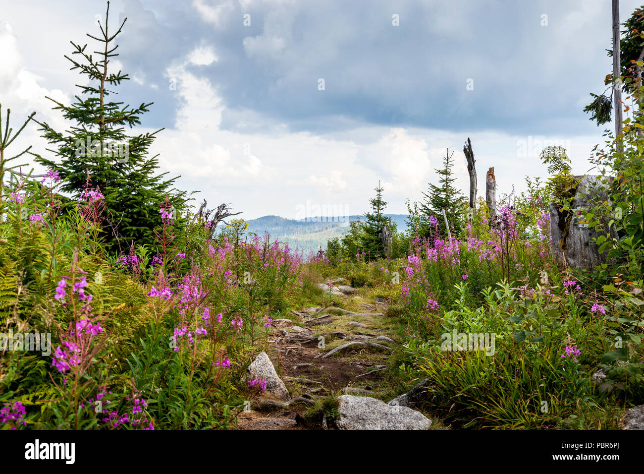 View to Dreisessel, Trojmezi and Trojmezna hills with forests destroyed by bark beetle infestation (calamity) in Sumava mountains. - Stock Image