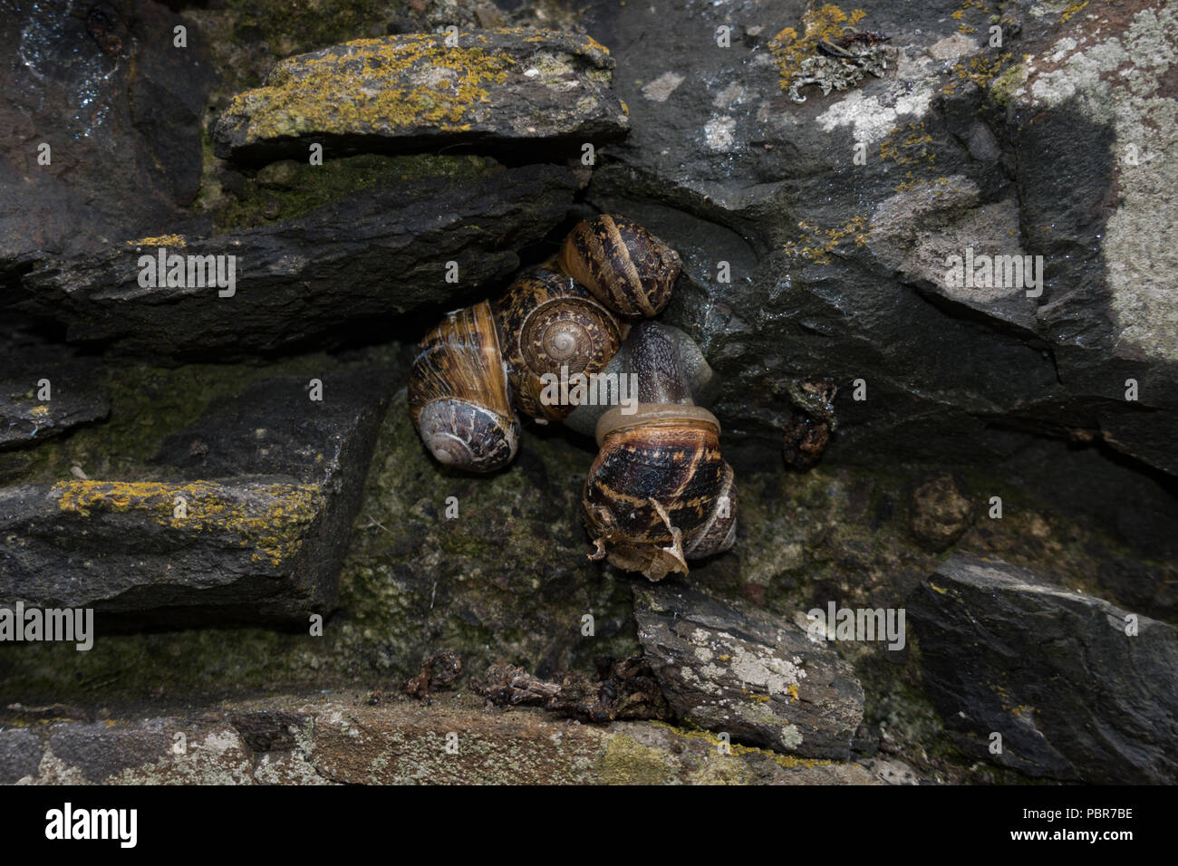 Group of Garden Snails Helix aspersa  on old stone wall during hot summer weather. Scotland. - Stock Image