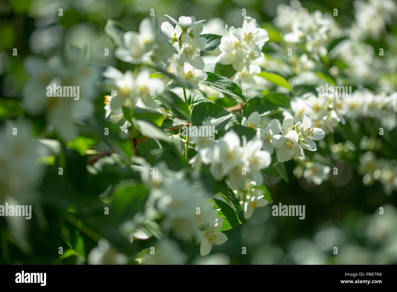 Beautiful blooming jasmine branch with white flowers at sunlight in beautiful blooming jasmine branch with white flowers at sunlight in summer sunny day tender white petals and yellow stamens of jasmine flowers close izmirmasajfo