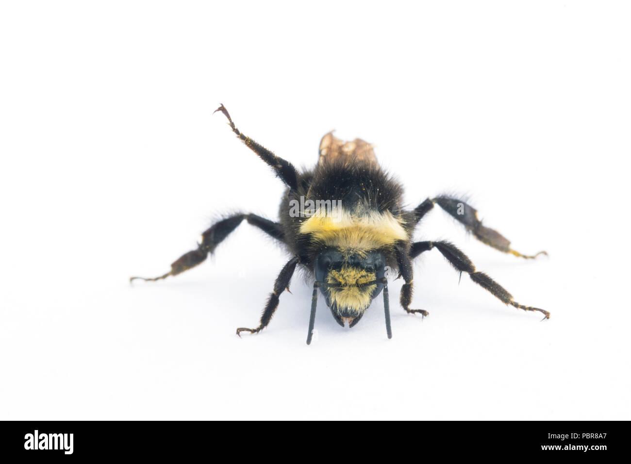 Yellow-faced Bumblebee (Bombus vosnesenskii)  Common bumble bee of Northwestern US, close-up portrait - Stock Image
