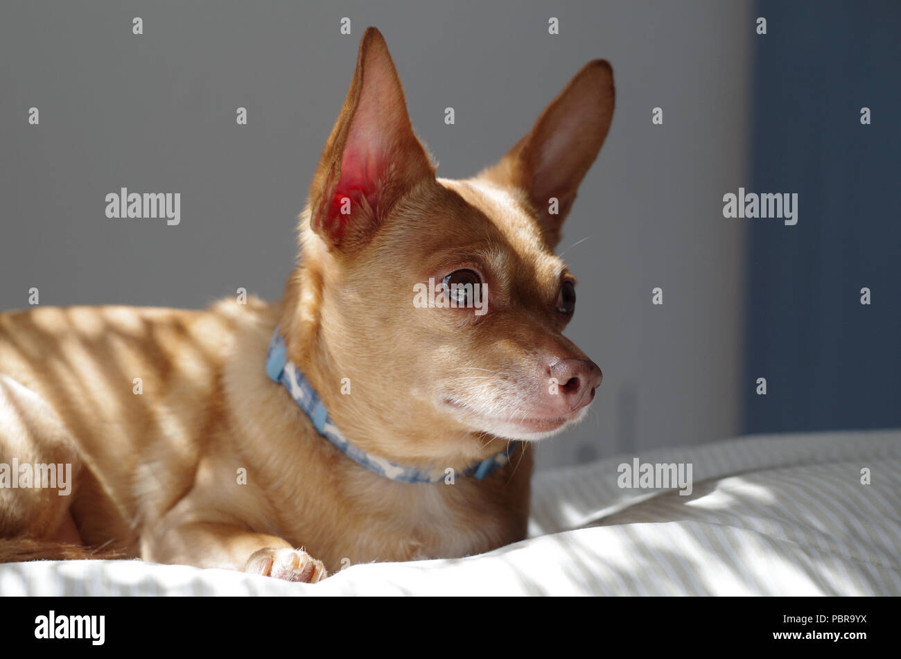 Our little rescue Chiweenie, ' Tebo.' Chiweenies are a Chihuahua Dachsund 'designer dog' mix. Great dogs and rather popular now days. - Stock Image