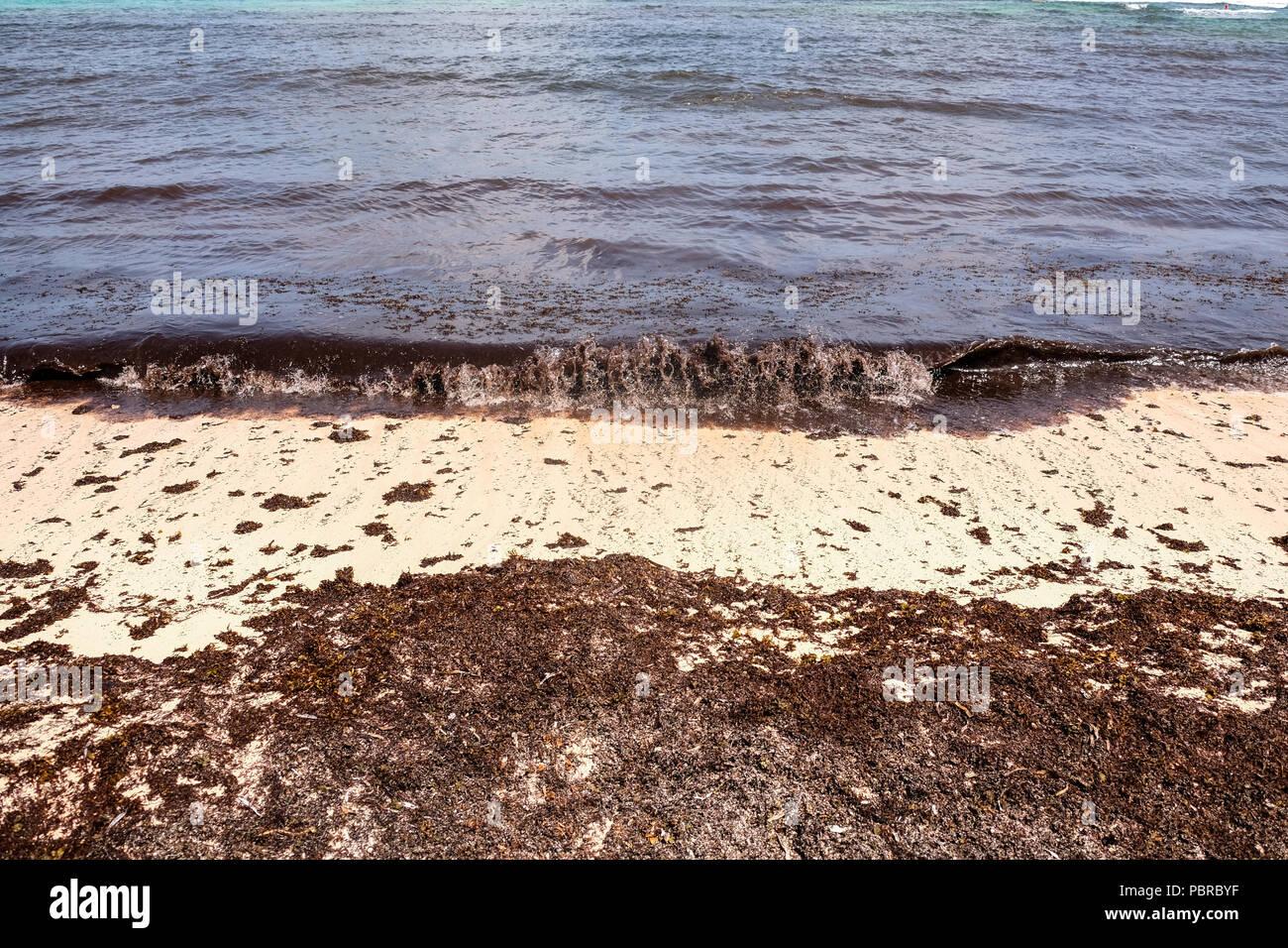 Masses of seaweeds washed up on beaches at Cayman Island - Stock Image