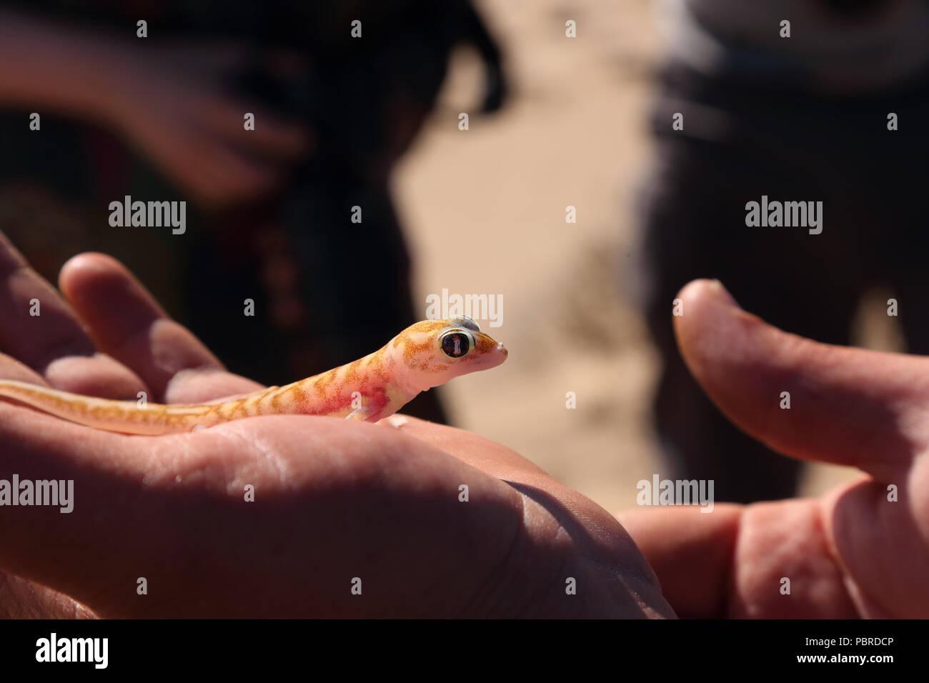 Namib sand gecko (Pachydactylus rangei) being handled, Namib Desert, Namibia. Stock Photo