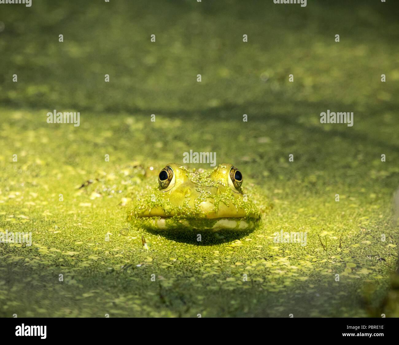 Frog in full camo - Stock Image