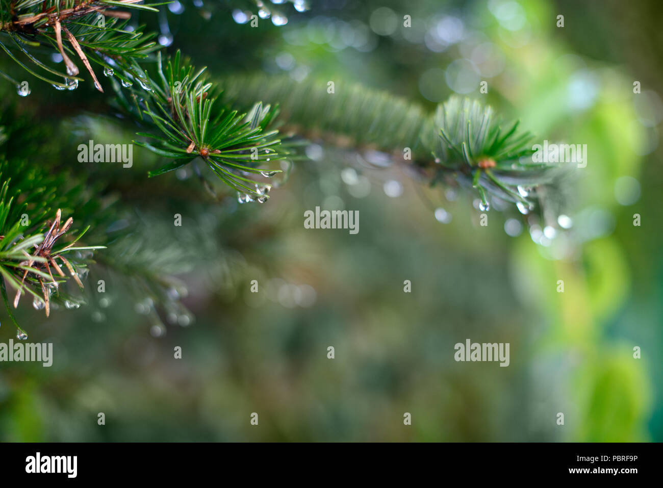 Spruce branch with drops of dew, close up background - Stock Image