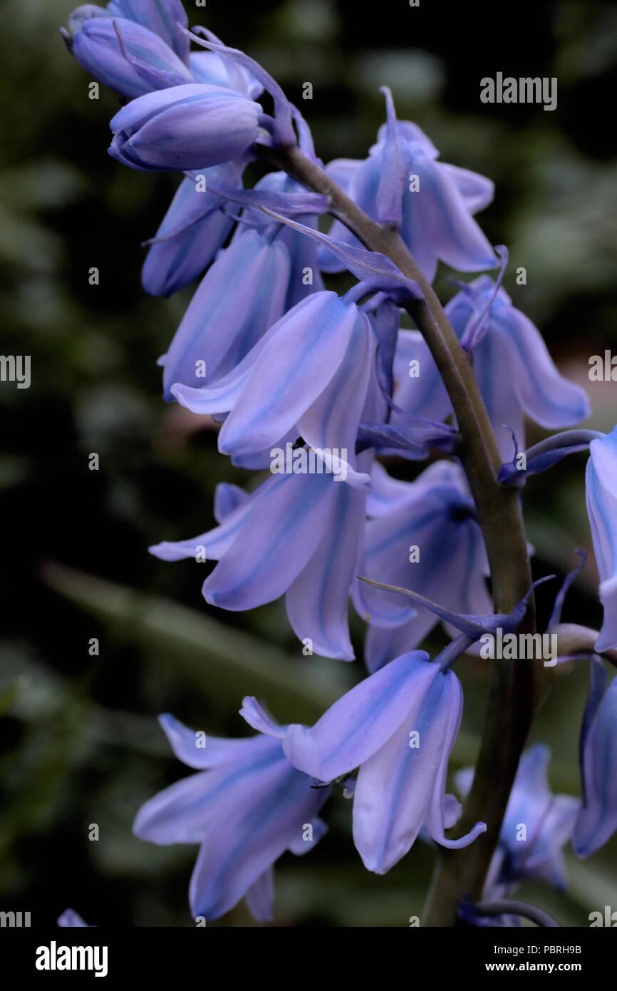 Hyacinthoides hispanica (Hasenglöckchen) (Spanish Bluebell) Stock Photo