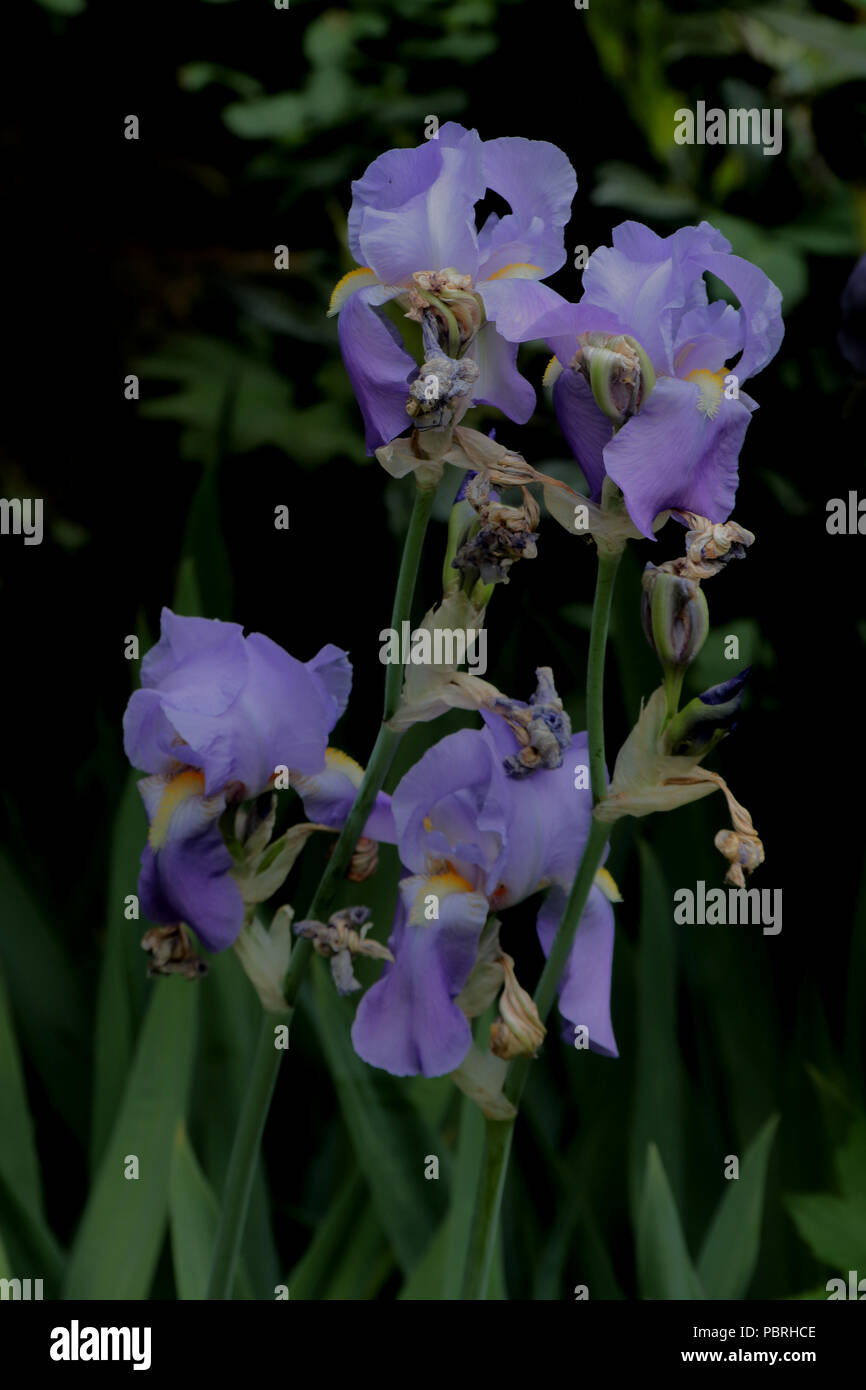 Iris × conglomerata (Bart-Iris) (Bearded Iris) (Iris d'Allemagne) Stock Photo