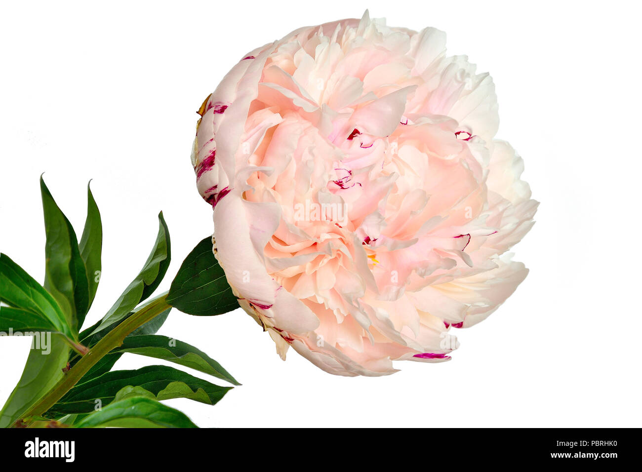 Beautiful gentle white-pink peony close up on a white background isolated with green leaves. Flowers with delicate petals and delicate aroma. Concept  - Stock Image