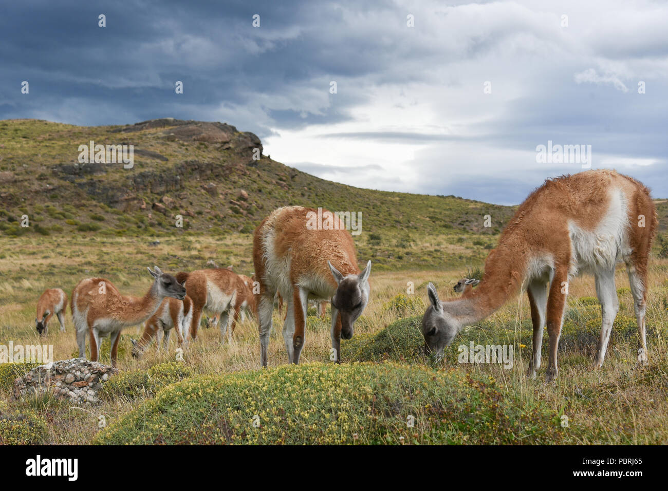 Guanacos (Lama guanicoe) after rain, Torres del Paine National Park, Patagonia, Chile, South America - Stock Image