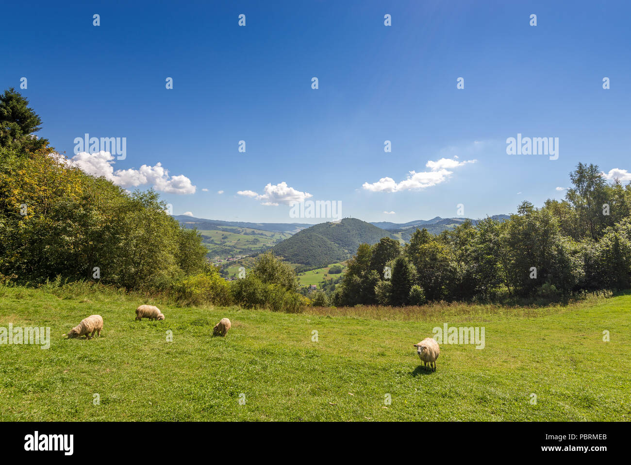 Grazing sheep on pasture in Pieniny mountains. Poland. - Stock Image