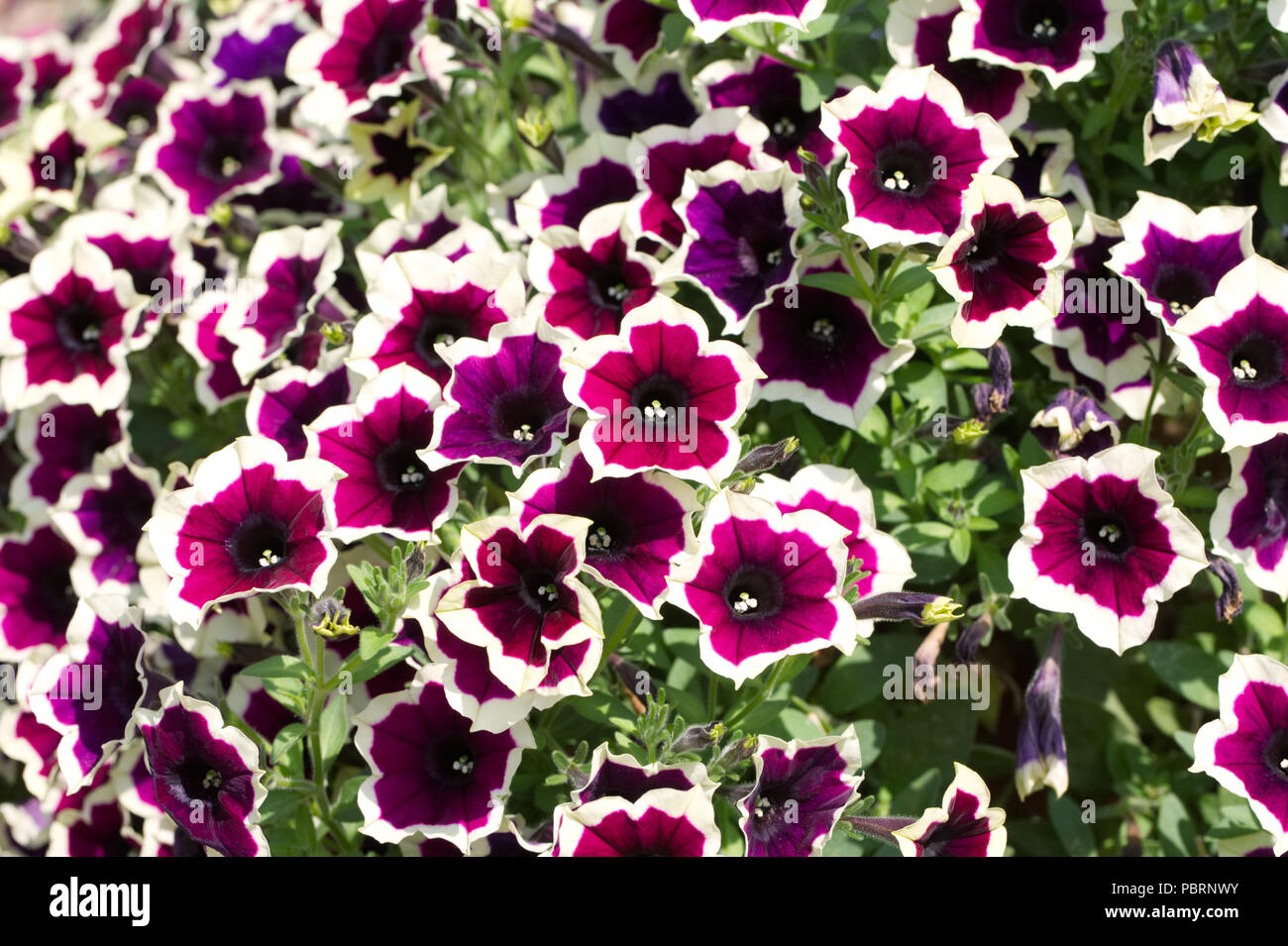 Petunia Cascadia Rim Magenta flowers. - Stock Image