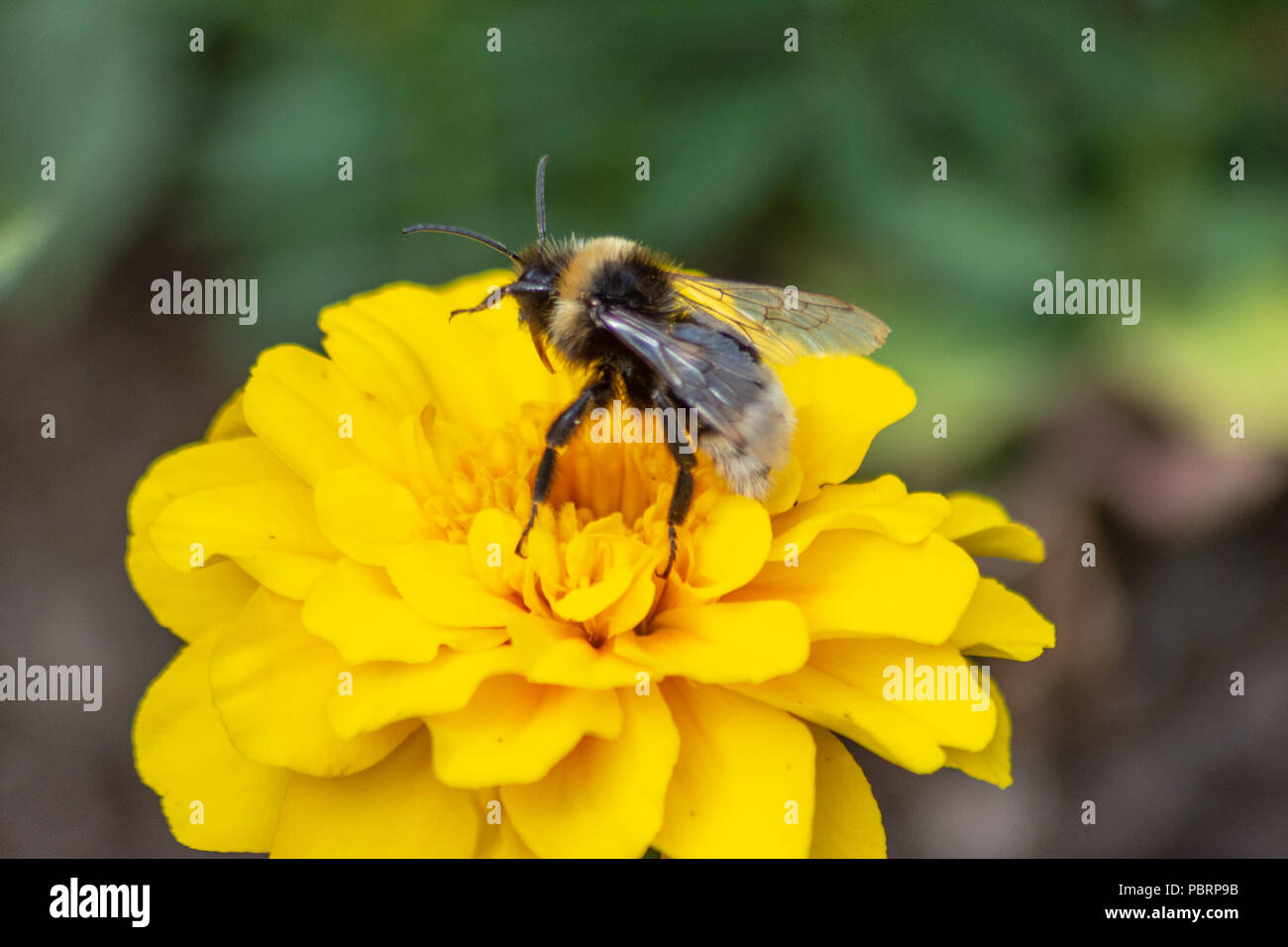 Gypsy's cuckoo bumblebee  Bombus bohemicus preparing to take off from a yellow marigold flower in Trowbridge Town park - Stock Image