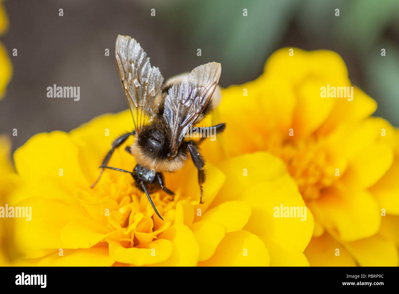 Gypsy's cuckoo bumblebee  Bombus bohemicus feeding on nectar from a yellow marigold flower in Trowbridge Town park - Stock Image