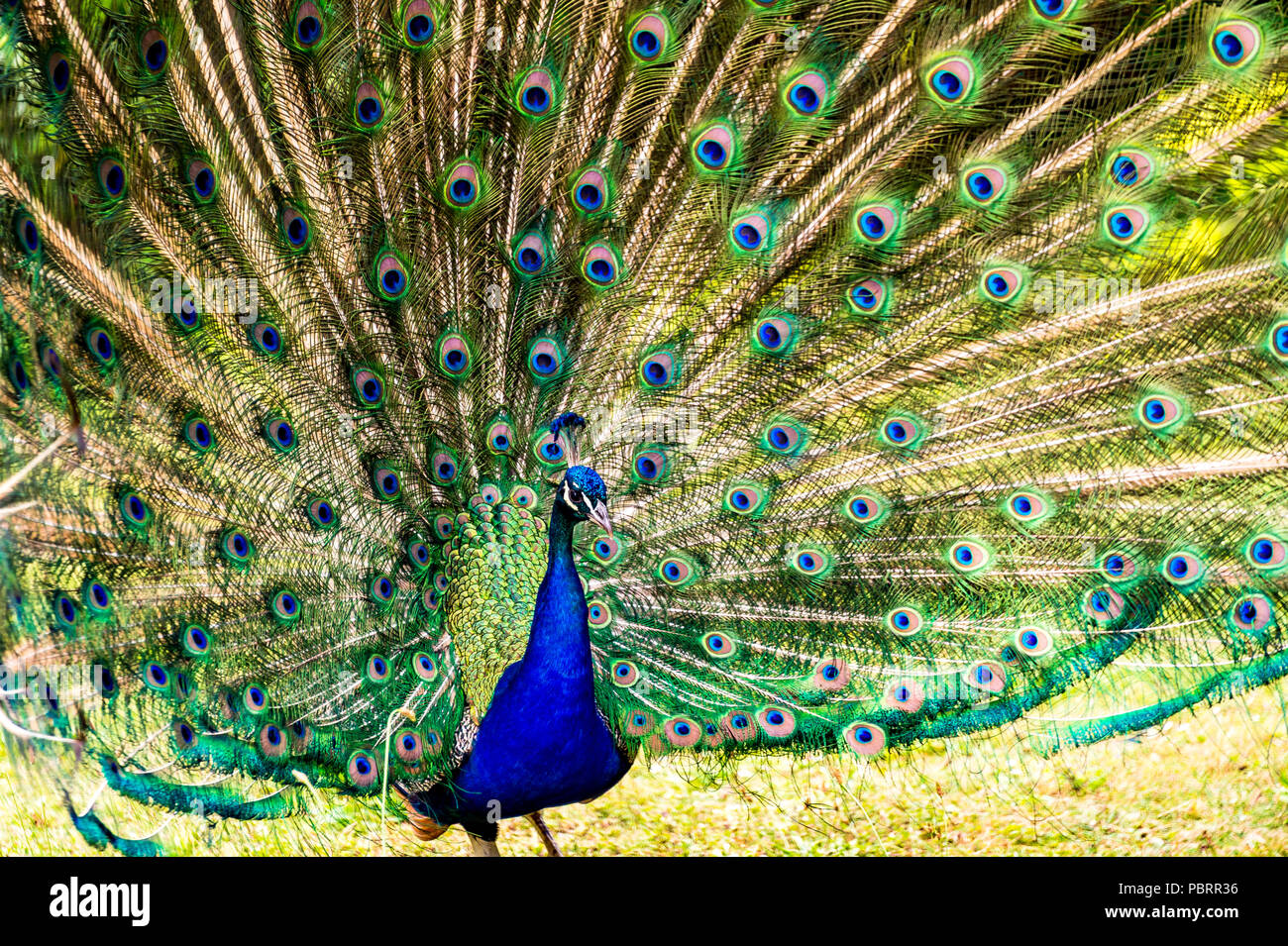 Peacock in a park in Paris, France Stock Photo