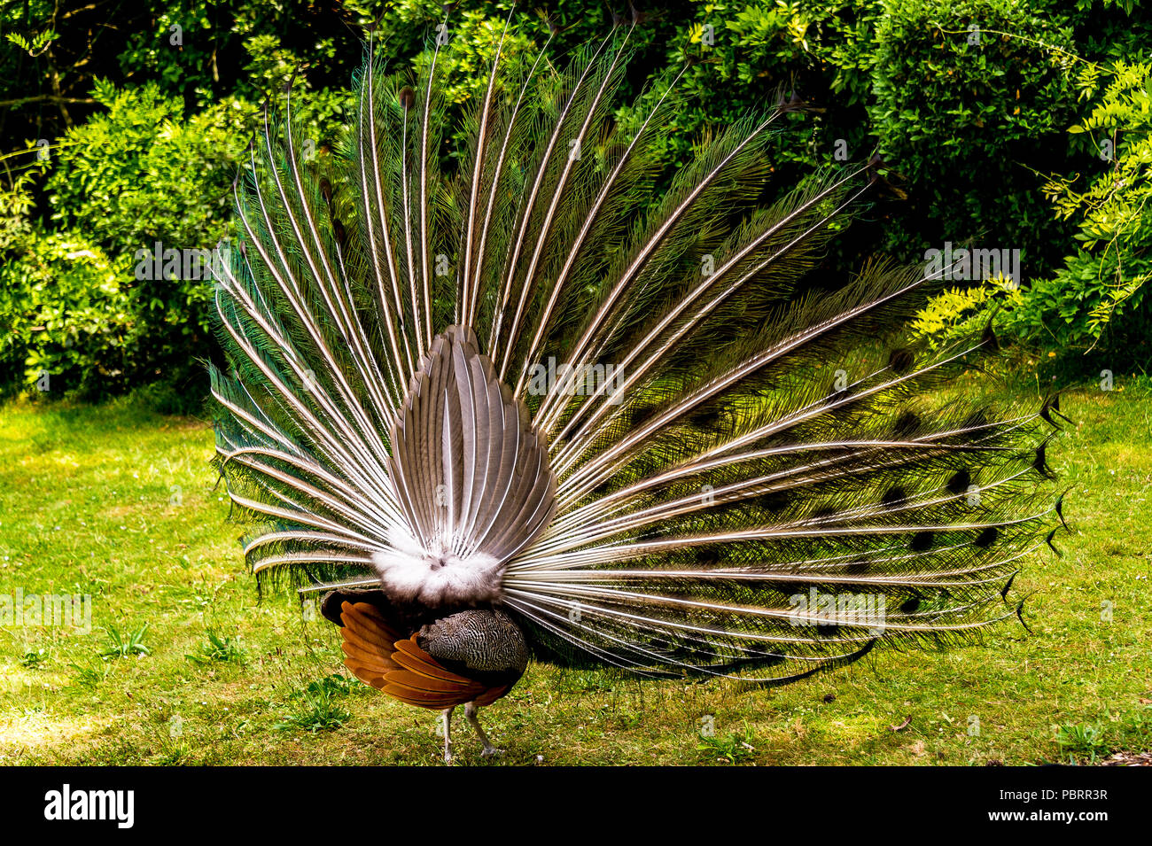 Peacock from behind with its plumage as he fans his tail in a park in Paris, France - Stock Image