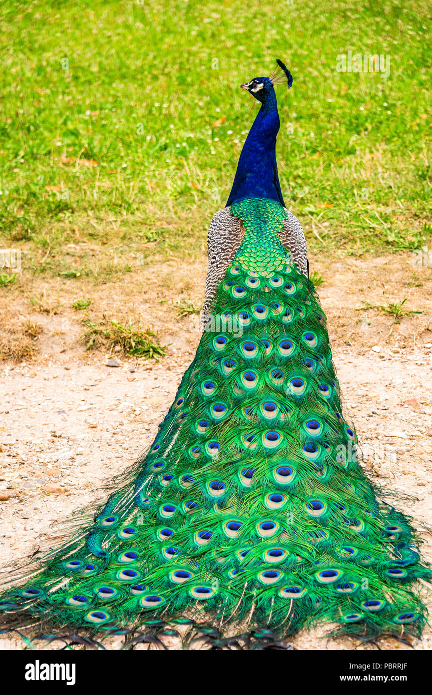 Peacock in a park in Paris, France - Stock Image