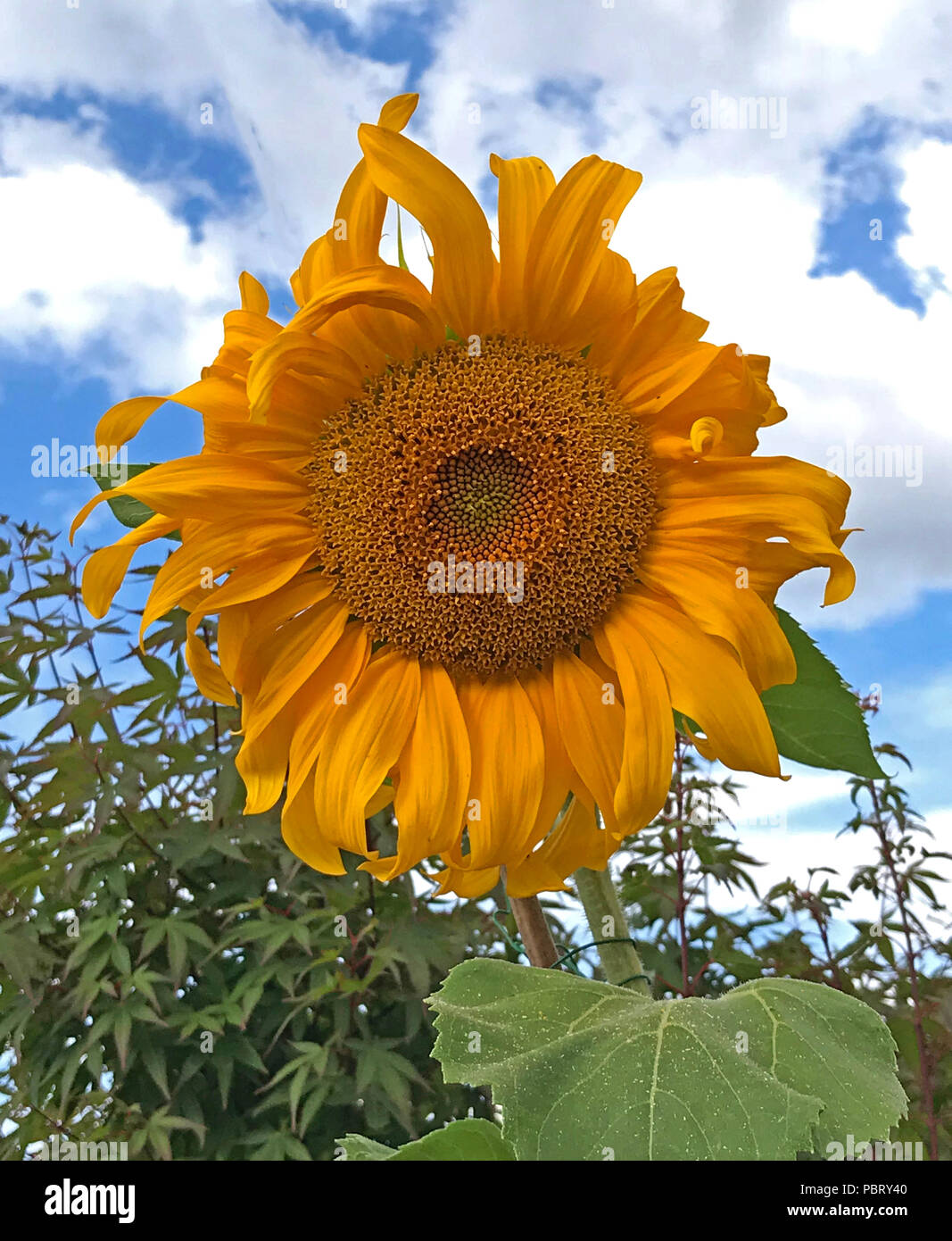 Sunflower, Helianthus, orange - yellow against a blue sky with clouds - Stock Image