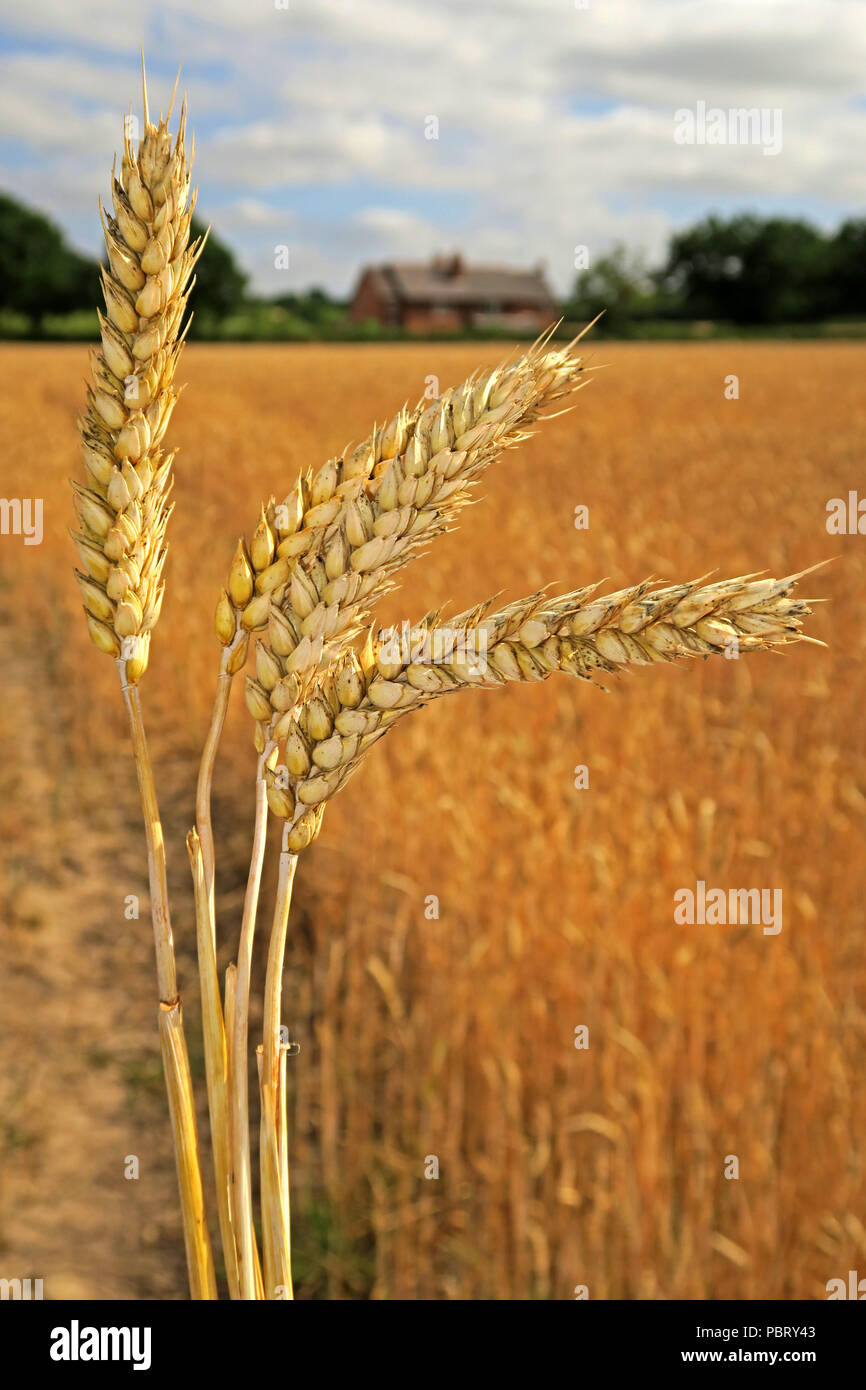 Barley ears (Hordeum vulgare) in a summer field ready for harvest, Grappenhall, Warrington, North West England, UK - Stock Image